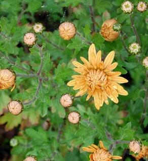 Winteraster Kleiner Bernstein - Chrysanthemum hortorum