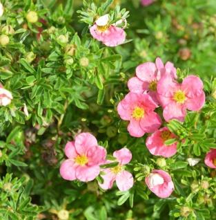 10x Fünffingerstrauch Bellissima® - Potentilla fruticosa