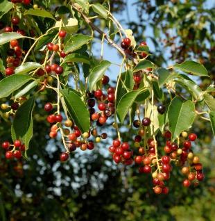 Späte Traubenkirsche 125-150cm - Prunus serotina