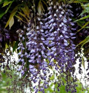 Blauregen Macrobotrys 125-150cm - Wisteria floribunda