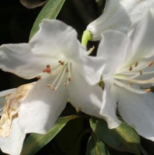 Rhododendron wongii 30-40cm