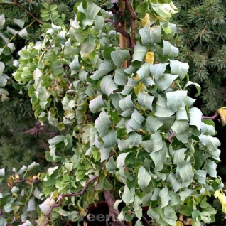 Hochstamm Zwerg Korkenzieher Robinie Twisty Baby 60-80cm - Robinia pseudoacacia