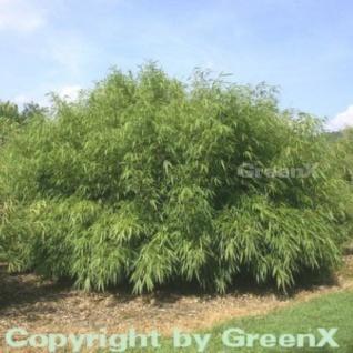 Gartenbambus Rufa 100-125cm - Fargesia murielae