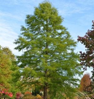 Sumpfzypresse 80-100cm - Taxodium distichum