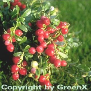 Preiselbeere Koralle 10-15cm - Vaccinium vitis idaea