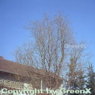Korkenzieherweide 100-125cm - Salix matsudana