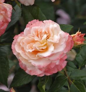 Hochstamm Rose Augusta Luise® 60-80cm