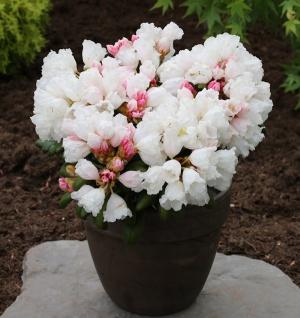 Rhododendron Schneekissen 50-60cm - Alpenrose