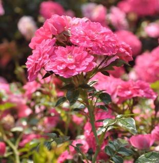 Hochstamm Rose Knirps 60-80cm