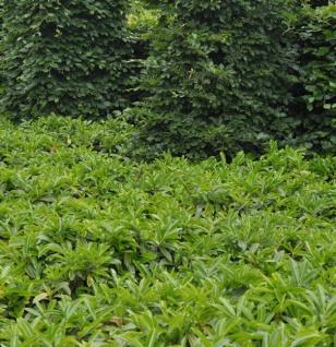 Bodendecker Lorbeerkirsche Mount Vernon 30-40cm - Prunus laurocerasus