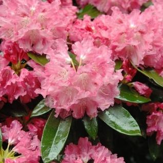 INKARHO - Rhododendron Bad Zwischenahn 50-60cm - Rhododendron williamsianum