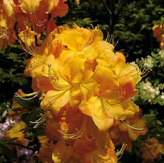 Azalee Klondyke 30-40cm - Rhododendron luteum - Alpenrose