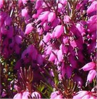 10x Winterheide Wintersonne - Erica carnea