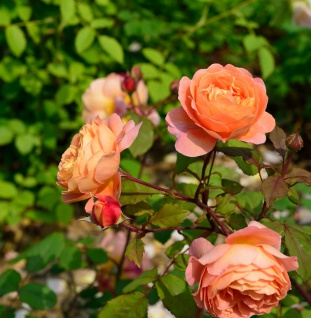 Englische Rose Lady Emma Hamilton® 30-60cm