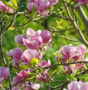Tulpen Magnolie Rustica Rubra 100-125cm - Magnolia soulangiana