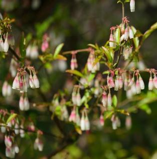 Wilde Heidelbeeren 20-25cm - Vaccinium griffithianum