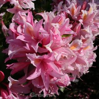 Azalee Irene Koster 30-40cm - Rhododendron luteum - Alpenrose
