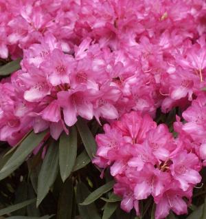 Rhododendron Rosa Perle 40-50cm - Rhododendron makinoi