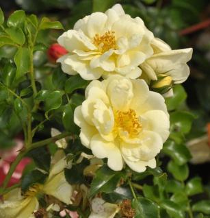 Hochstamm Rose Sunny Sky 80-100cm