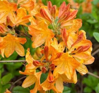Azalee Annabella 50-60cm - Rhododendron luteum - Alpenrose