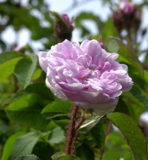 Historische Rose Zoe 30-60cm