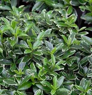 Japanischer Spindelstrauch Grey Beauty 15-20cm - Euonymus japonicus