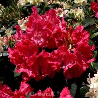 INKARHO - Großblumige Rhododendron Weinlese 30-40cm - Alpenrose
