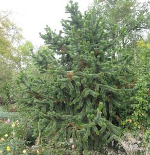 Grannen Kiefer 50-60cm - Pinus aristata