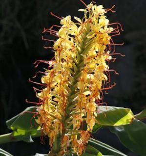 Schmetterlings Ingwer - Hedychium coccineum