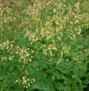 Kleine Wiesenraute - Thalictrum minus