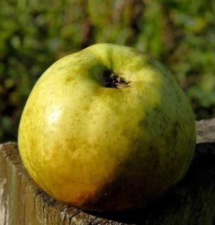 Apfelbaum Jakob Lebell 60-80cm -Herbstapfel und sauer