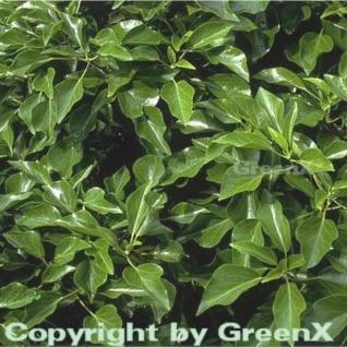 Strauch Efeu 80-100cm - Hedera helix Arborescens