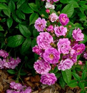 Hochstamm Rose Werner von Blon 80-100cm