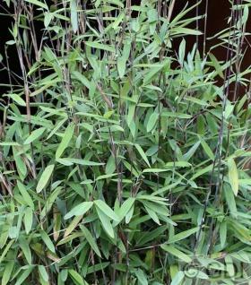 Schwarzer Gartenbambus Black Pearl 100-125cm - Fargesia nitida