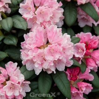 INKARHO - Rhododendron Colibri 25-30cm - Alpenrose