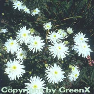 Gartenmargerite Wirral Supreme - Leucanthemum