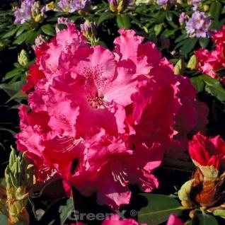 INKARHO - Großblumige Rhododendron Fidelius 50-60cm - Alpenrose