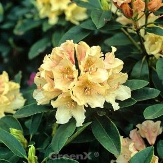 INKARHO - Rhododendron Festivo 25-30cm - Alpenrose
