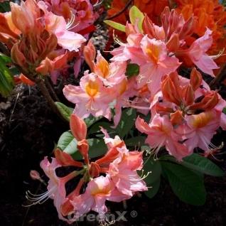 Azalee Stefanie 70-80cm - Rhododendron luteum - Alpenrose