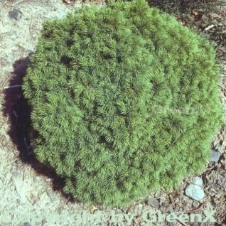 Kugelfichte Alberta Globe 10-15cm - Picea glauca