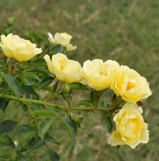 Bodendeckerrose Limesgold® 20-30cm