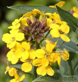 Goldlack Yellow Bird - Erysimum cheir