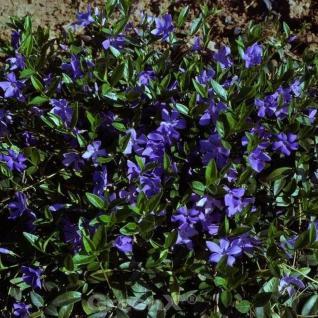 10x Immergrün Flower Power - Vinca minor - Vorschau