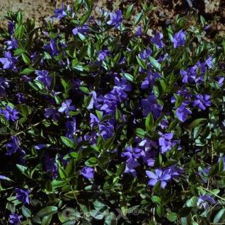 10x Immergrün Flower Power - Vinca minor