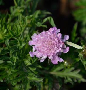 Tauben Skabiose Pincushion Pink - Scabiosa columbaria