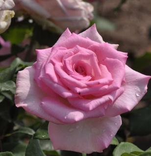 Hochstamm Rose Beverly 80-100cm