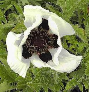 Türkischer Mohn Black and White - Papaver orientale