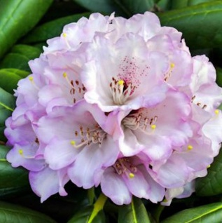 Großblumige Rhododendron Rexima 30-40cm - Alpenrose
