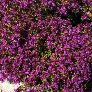 Teppich Thymian Red Carpet - Thymus praecox
