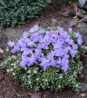 Rhododendron litangense 15-20cm - Rhododendron litangense